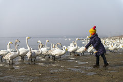 Kid feeding a bevy of mute swans. Group of swans at lake during migratory season stock images