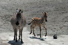 Kid and female zebras in Tanzania Royalty Free Stock Photography