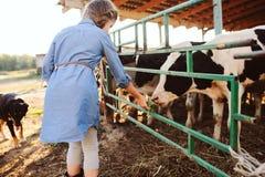 Kid girl feeding calf on cow farm. Countryside, rural living stock photography