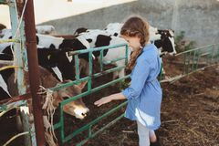 Kid girl feeding calf on cow farm. Countryside, rural living royalty free stock photos