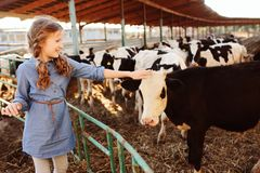 Kid girl feeding calf on cow farm. Countryside, rural living stock photo