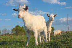 Kid Goat Royalty Free Stock Photo