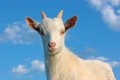 Kid Goat Stock Photography