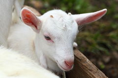 Kid goat Royalty Free Stock Image