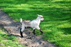 Kid goat royalty free stock image