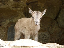 Kid Goat. A baby goat on a background of the cave Royalty Free Stock Image