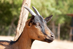 Kid goat Stock Image