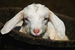 Kid Goat In A Bucket. Kid goat laying in rubber bucket Stock Photo