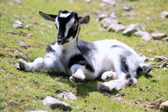 Kid Goat. Close up of a black and white kid goat royalty free stock image