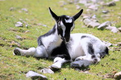 Kid Goat. Close up of a black and white kid goat royalty free stock images