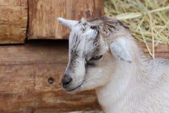 Kid goat closeup portrait royalty free stock images