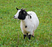 Kid goat in field. Royalty Free Stock Image
