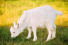 Kid Goat Grazes On Green Summer Grass On A Sunny Day. Goat Eating. A Grass On A Green Meadow. Farm Baby Animals royalty free stock photos