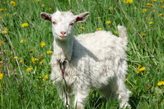 Kid. Goat grazing on green grass Stock Images