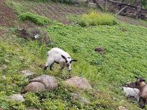 Kid Goat Grazing Nature. Kid goat grazing nsture nsure nslure nure naure nature royalty free stock photography