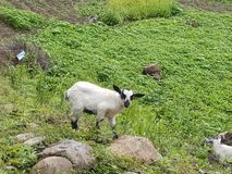 Kid Goat Grazing Nature baby stock photography