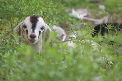 Kid goat head. And its body covered by plants Royalty Free Stock Photography