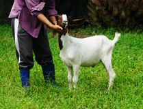 Kid goat 6 months. Portrait in Farm animals Collection of picture such as goat Stock Image