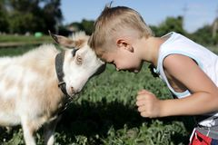 Kid and goat head butting. Kid and goat playing through head butting stock photography