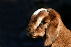Kid Goat Profiles 3 Royalty Free Stock Image