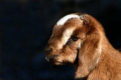 Kid Goat Profiles 3. Nubian kid goat closeups, caprine Royalty Free Stock Image