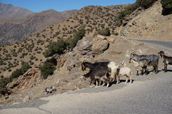 Kid and goats in the mountains Royalty Free Stock Photo