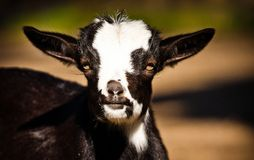 Kid goats Royalty Free Stock Photo