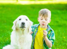 Kid with golden retriever dog blowing dandelion stock images