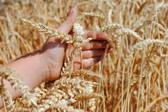 Kid hand brushes ears of wheat Stock Photos