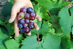 Kid hand with colorful grapes Stock Image