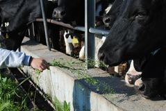 Free Kid Hand Feed A Cow Royalty Free Stock Photos - 24622838