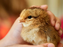 Kid hand holding petting little cute chick closeup Stock Photo