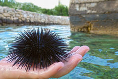 Kid hand holding sea ​​urchin Royalty Free Stock Photography