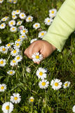 Kid hand picking wildflowers Stock Images