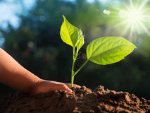 Kid hand planting young tree over sunlight Royalty Free Stock Photos