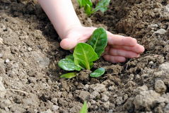 Kid hand with seedlings Stock Images
