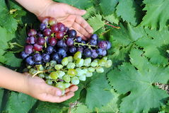Kid hands with colorful grapes Stock Photos