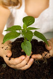 Kid hands holding a new plant in soil Stock Photos
