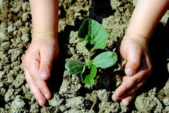 Kid hands plant a seedling. In the garden Royalty Free Stock Photo