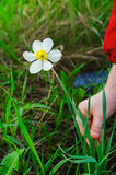 Kid hands to pluck a flower Royalty Free Stock Photos