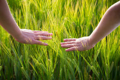Kid hands with wheat ears Stock Photos