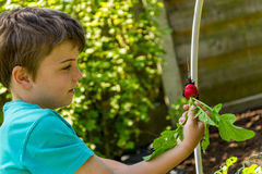 Kid harvesting radish Stock Photography