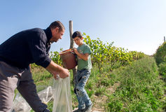 Kid helping on grape harvest at farm with vineyard Royalty Free Stock Photography