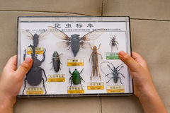 Kid holds box of insect specimens collection. The Chinese on top means insect specimens collection and explaning what`s insects, other Chinese are the names of stock photo