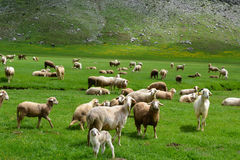 Kid, lamb and sheep. Livestock;kid, lamb and sheep Royalty Free Stock Photography