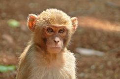 Kid monkey. A cute kid monkey looking with curiosity. Took it at Amarkantak, India Royalty Free Stock Photos