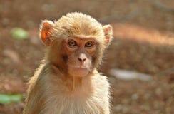 Kid monkey. A cute kid monkey looking with curiosity. Took it at Amarkantak, India royalty free stock photos