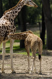 Kid and mother giraffe. A kid giraffe loving his mother royalty free stock photos
