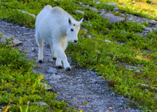 Kid Mountain Goat in Glacier National Park Stock Image