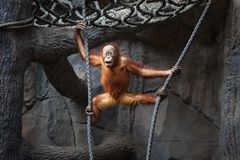 Kid of orangutan Royalty Free Stock Images